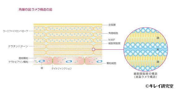 角層の図:ラメラ構造の図